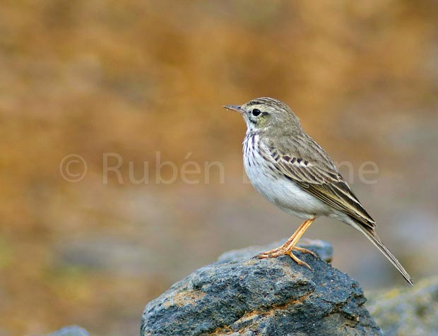Berthelot's Pipit - photo Ruben Barone