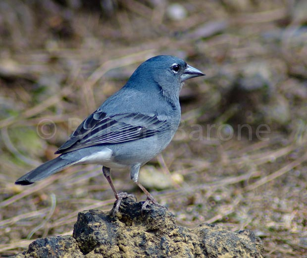 Blue Chaffinch - Photo Ruben Barone