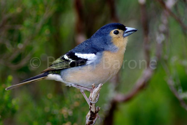 Common Chaffinch ssp. canariensis - photo Ruben Barone