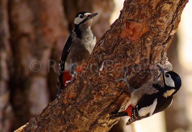 Great Spotted Woodpecker - photo Rubén Barone