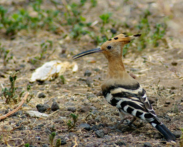 Hoopoe - photo Ruben Barone