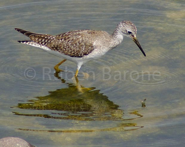 Lesser Yellowlegs Tringa flavipes - photo Ruben Barone