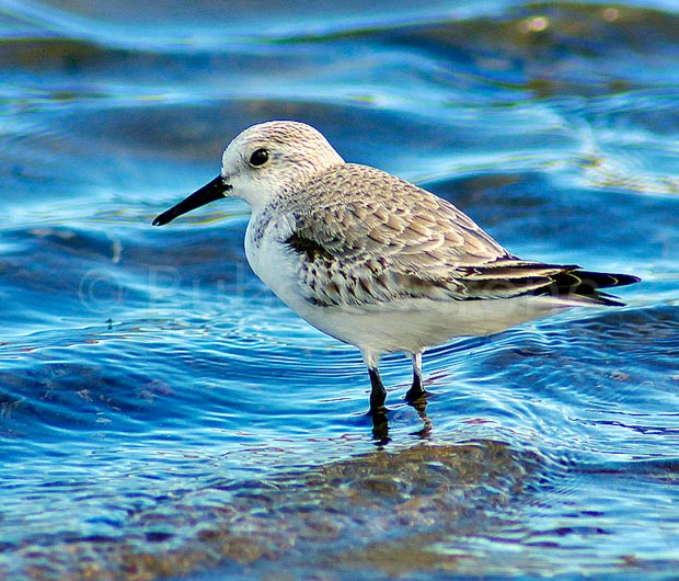 Sanderling Calidris alba - photo Ruben Barone