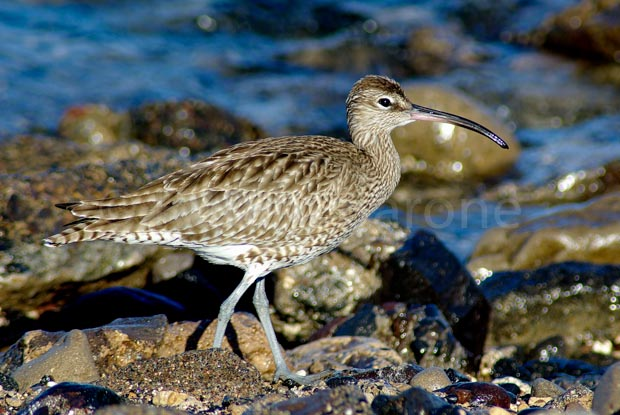 Whimbrel Numenius phaeopus - photo Ruben Barone